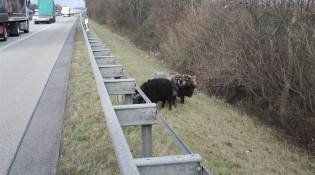 owce_przy_drodze_niemcy